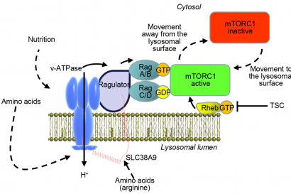 Targeting the mTOR Signaling Pathway Utilizing Nanoparticles A Critical Overview.png